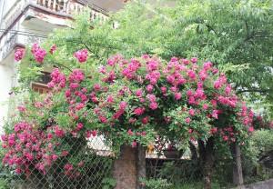Hoa hồng nở rực rỡ ở Sapa