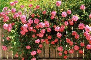 Vẻ đẹp hoa hồng Sapa