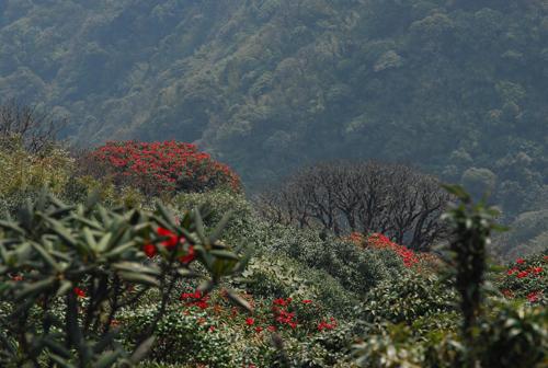 Hoa đỗ quyên nở rộ khắp núi