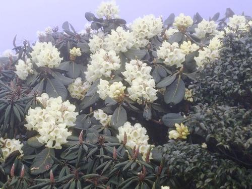 Những bông hoa đỗ quyên khoe sắc vào sáng sớm